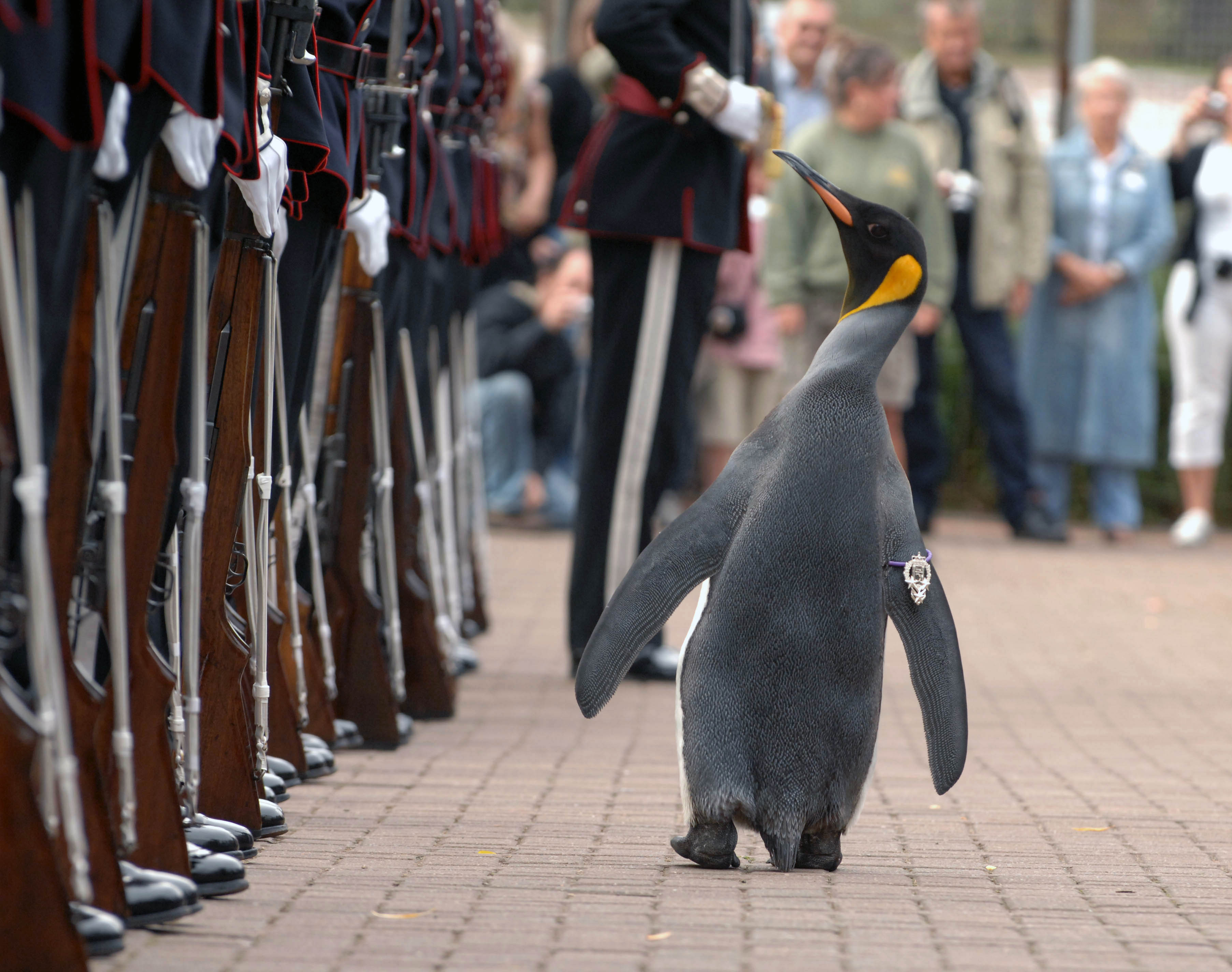 Nils Olav the Penguin inspects the Kings Guard of Norway after being bestowed with a knighthood at Edinburgh Zoo in Scotland. The King's Guard adopted the penguin as their mascot in 1972 during a visit to Edinburgh for the annual Military Tattoo. The tradition has stuck and each time the Guards visit the city, Nils Olav is promoted and invited to inspect the troops once more.